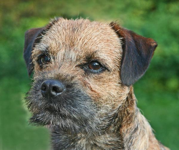 border terrier hvalpe til salg